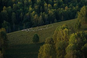 Herd of sheep in the forest and mountains