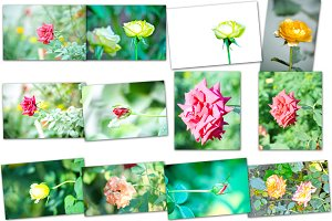 Collage of rose flower