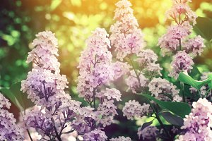 Beautiful Lilacs closeup on the background of foliage and sunset