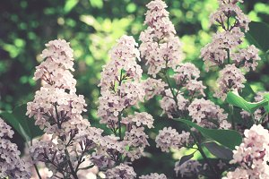 Beautiful Lilacs closeup on the background of foliage. Toned.