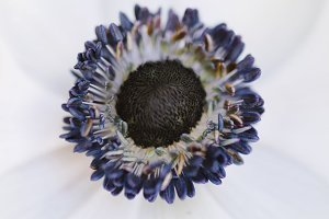 Anemone Flower Close-up