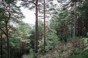Coniferous pine tree woodland