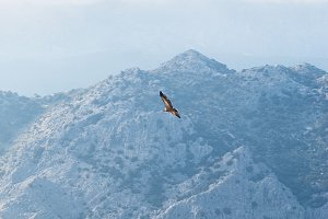 Vulture above mountains