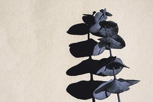 Baby Eucalyptus and Shadows