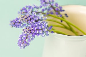 Muscari in a jug
