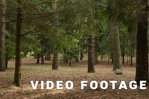 Clean forest of pines. Autumn daytime. Smooth dolly shot