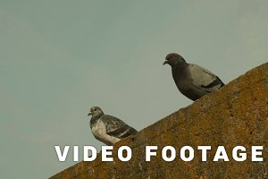 Two pigeons. Autumn daytime