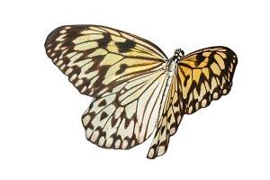 Idea leukonoe butterfly