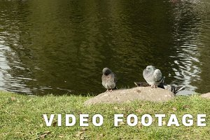 Two pigeons on the stone. Autumn daytime. Smooth dolly shot