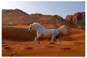 Arabian Mare in Desert