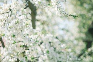 garden of cherry blossom
