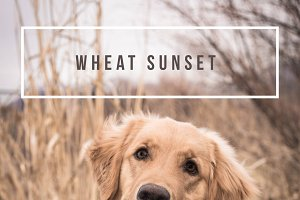 LR Preset-Wheat Sunset for Dogs
