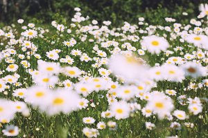 Summer field of daisies in the green grass - sunny landscape
