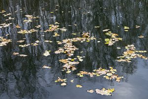 Fallen leaves on the water.