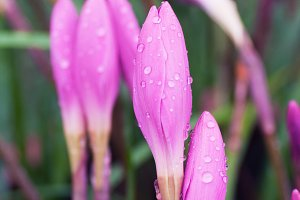 Pink flowers covered on raindrops