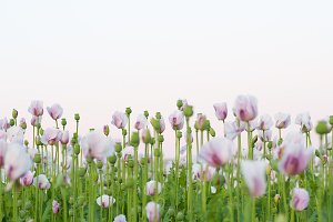 Many pink poppy flowers