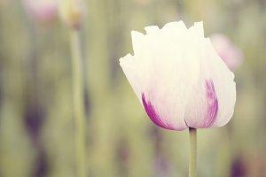 Pink poppy detail, vintage style