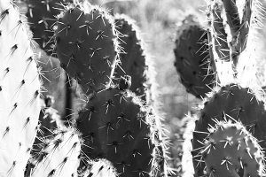 Black and White Cactus in the Sun