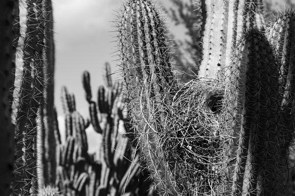 Black and White Cactus and Bird Nes…