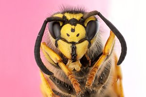 portrait wasp