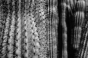 Black and White Prickly Cactus