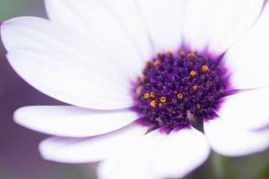 White and purple daisy