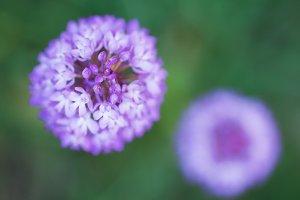 Beautiful wild purple flowers