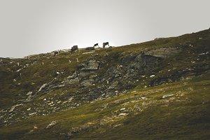 Norwegian landscape with reindeer