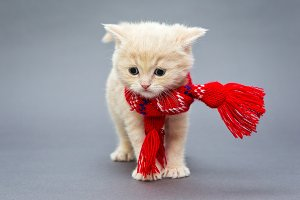 Little kitten British breed