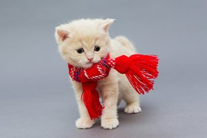 Little kitten British breed