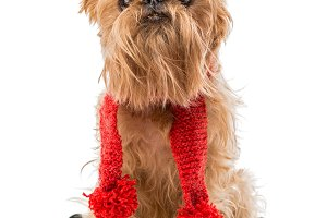 Dog Brussels Griffon in a red scarf