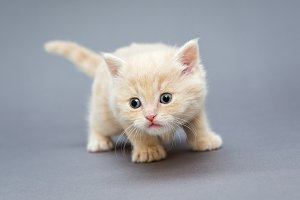 Small British kitten beige colour