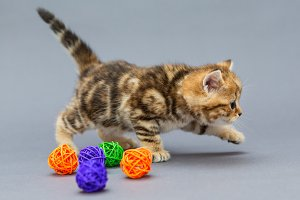 Little kitten British plays balls