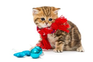 kitten breeds British in red scarf