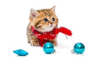 kitten breeds British in red scarf