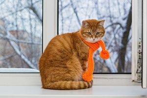 Red pet cat in an orange scarf