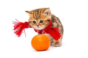Small British kitten and a tangerine