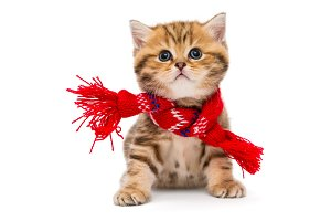 kitten British in a red scarf