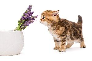 Kitten and lavender flower