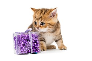 kitten British and Christmas toys