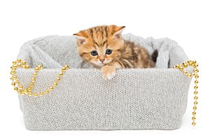 British kitten in a knitted box