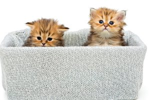 Two small British kitten