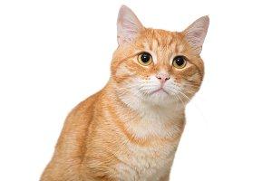 Portrait of a serious orange cat