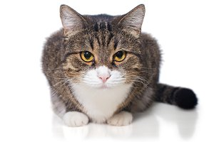 Portrait of a serious grey cat