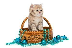 British kitten in a basket