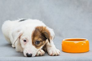 White puppy with an orange bowl