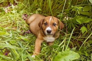 Little red puppy sitting in grass