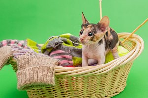 Kitten Cornish Rex in the basket