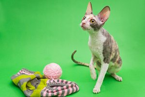 Cat breed Cornish Rex