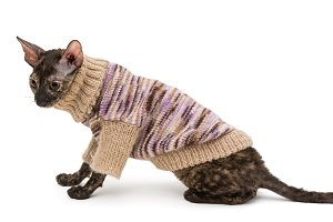 Portrait of a cat breed Cornish Rex
